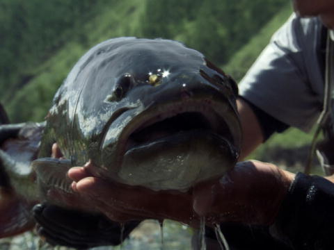 River Monsters: Kampen mot Taimen