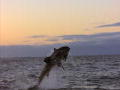 Ultimate Air Jaws: Great Whites Shift to Seals