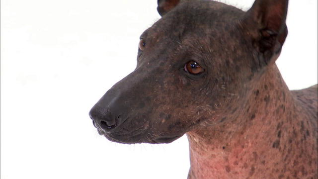 Xoloitzcuintli | Dogs 101 | Animal Planet