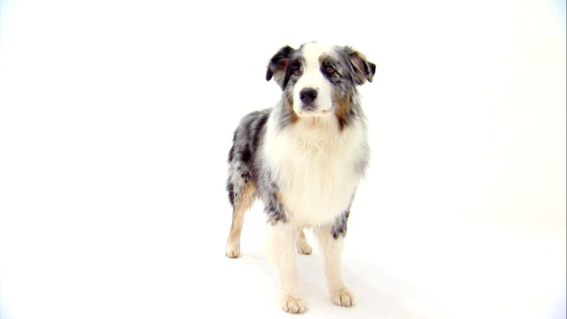 ... - Mini Australian Shepherd Dogs 101 Husky Australian Shepherd Mix