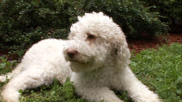 Lagotto Romagnolo | Dogs 101 | Animal Planet