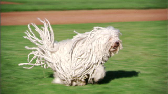 Puli | Dogs 101 | Animal Planet