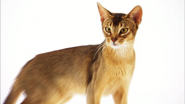 Pet Talk In Illinois Breed Focus Abyssinian