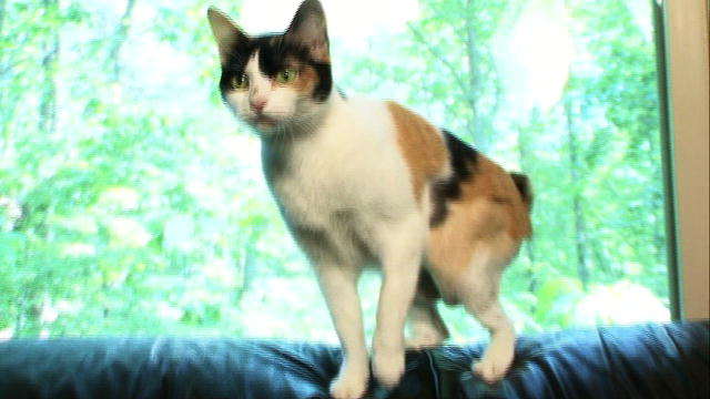 Japanese Bobtail | Cat...