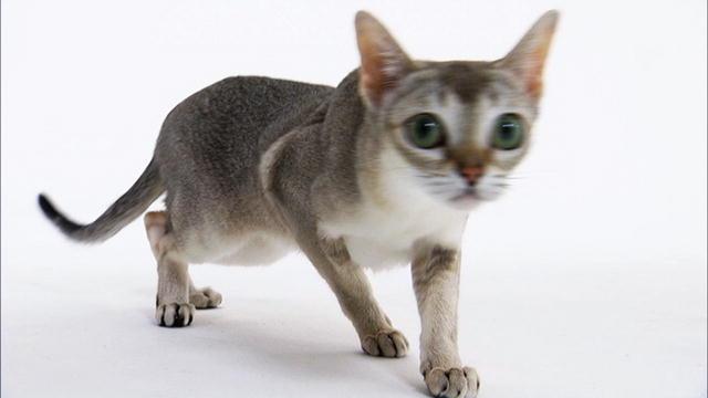Singapura Cat Breed Information