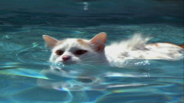 Cat Breeds That Are Good Swimmers