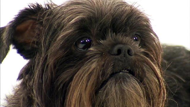 Monkey Dog Affenpinscher Affenpinscher | Dogs 101