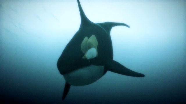 Orca Eating Polar Bear 129226901800213255100601197_ ...