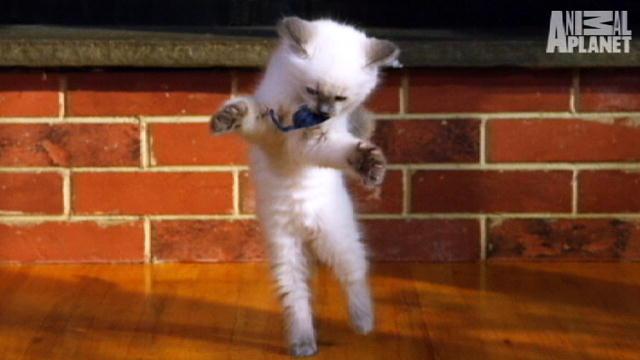 Baby Ragdoll Kitten Ragdoll Kittens | Too Cute