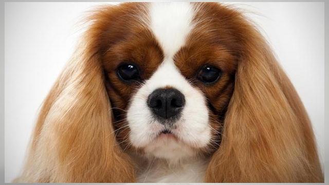 Cavalier King Charles Spaniel Dogs 101 Animal Planet