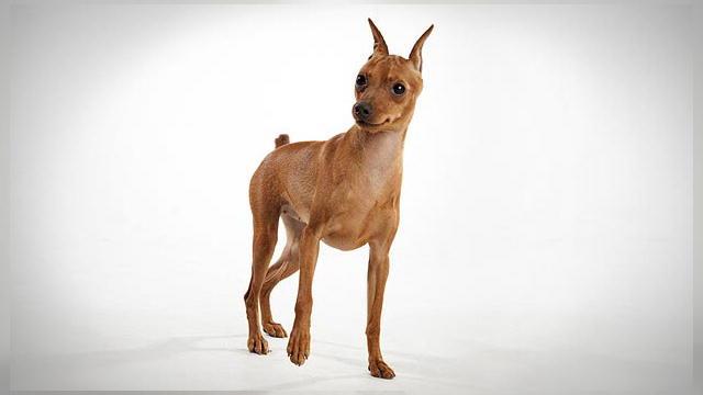 Miniature Pinscher | Dogs 101 | Animal Planet
