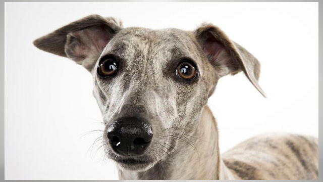 Whippet | Dogs 101 | A...