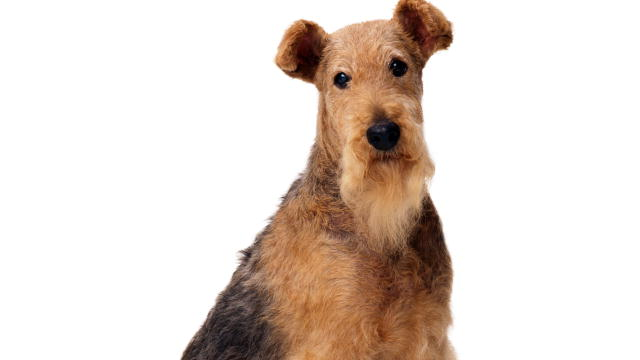 Airedale Terrier  Dogs 101  Animal Planet