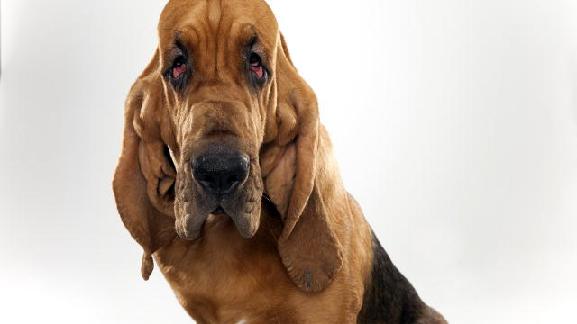 Bloodhound Bloodhound Dogs 101 Animal Planet