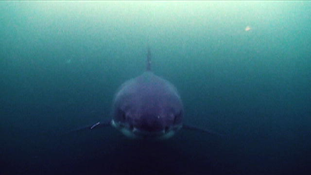 The Ring of Death | Shark Week | Discovery