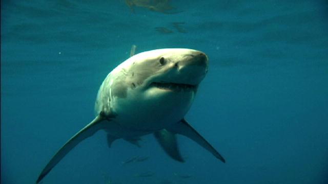 megalodon lives great white shark found half eaten neogaf pictures