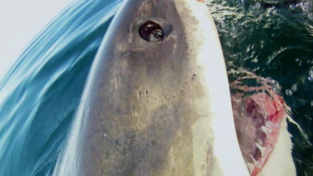 Top 35 Great White Shark Videos : Videos : Discovery Channel