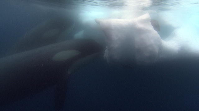 Orca Eating Polar Bear 133038094582313524200501197_ ...