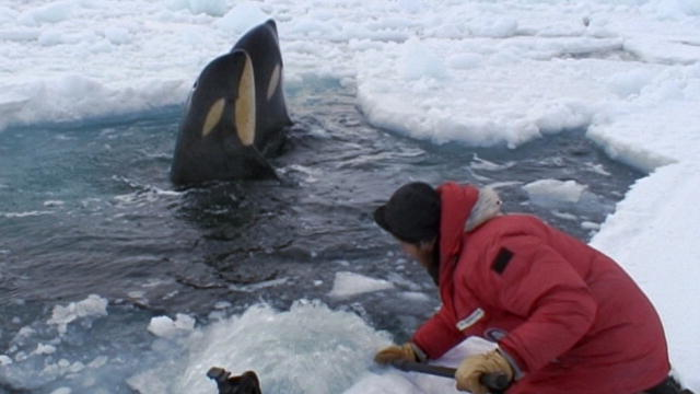 Orca Eating Polar Bear 133245206835813524202401197_ ...