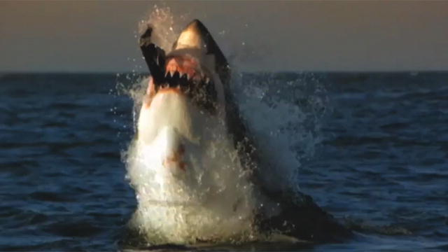 Related Pictures megalodon lives great white shark found half eaten