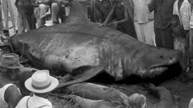 Legendary Great White Shark Filmed Swimming - Simplemost |Legendary Sharks