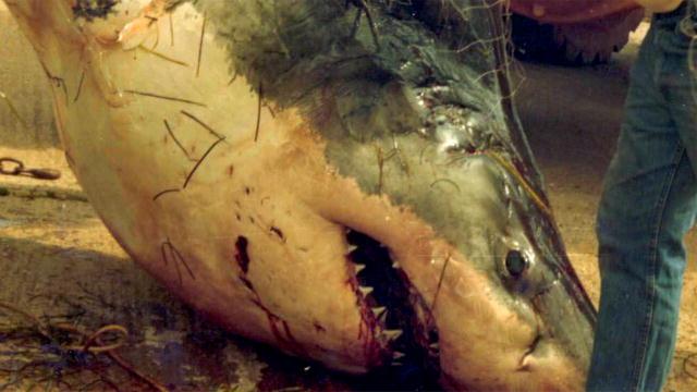 Legendary Bloodstone-Crazed Shark - Guild Wars 2 Wiki (GW2W) |Legendary Sharks