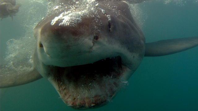Top 5 Legendary Sharks: The PEI Shark | Shark Week | Discovery |Legendary Sharks