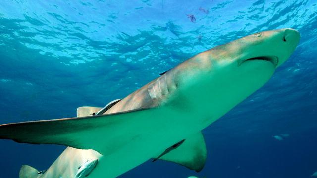 Lemon Shark Facts | Extreme Shark Facts!