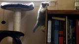 Too Cute!: British Shorthairs wreak Havoc