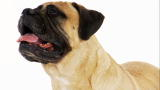 Dogs 101: Bullmastiff
