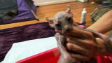First Bath for Sphynx Kittens