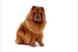 Chow Chow Video