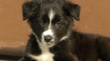 Border Collie Video