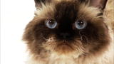Selkirk Rex Video