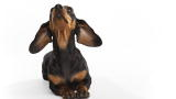 Dachshund (Standard) Video