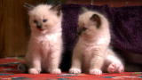 Animal Planet Too Cute Kittens Video