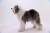 Old English Sheepdog Video