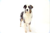 Australian Shepherd Video