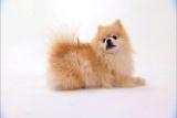 Pomeranian Video