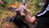 North Woods Law: Daring Moose Rescue