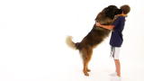 Dogs 101: Leonberger