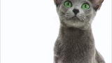 Russian Blue Video