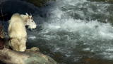 North America: Baby Mountain Goat Braves Rapids
