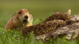 North America: Brave Prairie Dog Confronts Snake