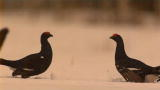 Frozen Planet: Filming a Black Grouse Fight