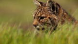 North America: Bobcat Stalks a Pocket Gopher