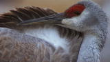 North America: Filming the Sandhill Cranes