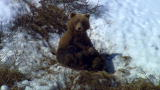 North America: Bear Family in Avalanche Country
