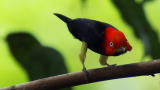 North America: Birds Dance to Score a Date