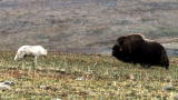 Frozen Planet: Musk Ox Save Calf from Wolves